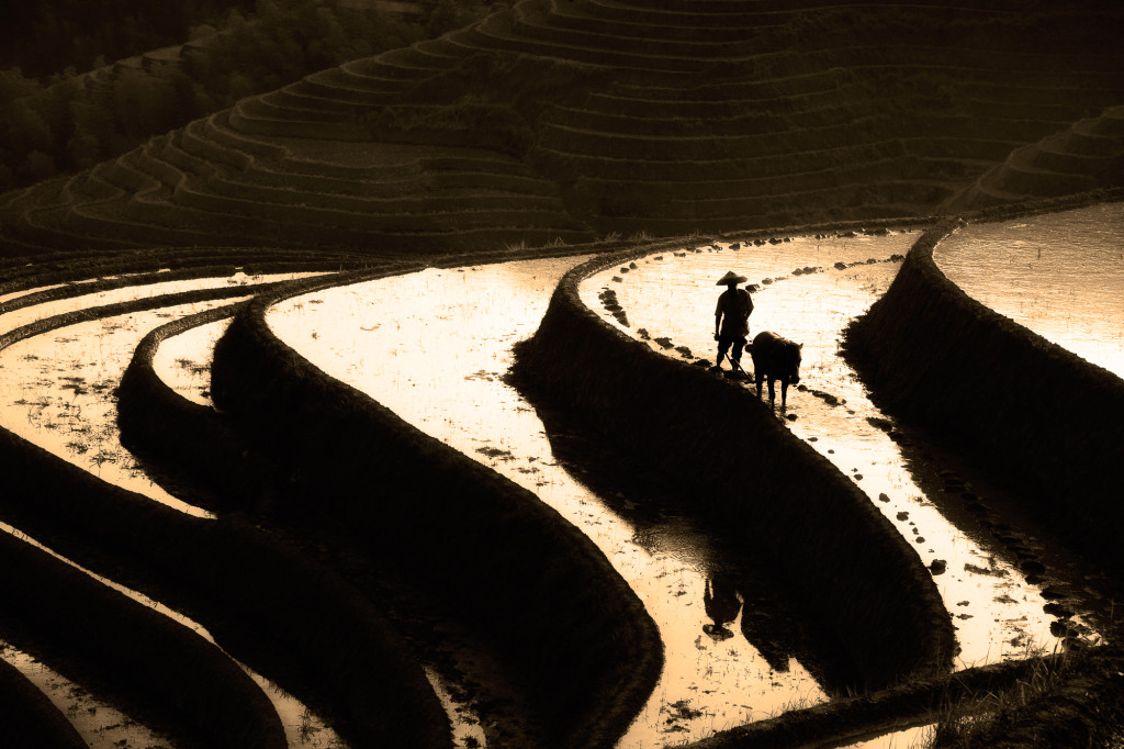 Silhouette of Chinese farmer and water buffalo on rice terraces. The rice terraces were built over many hundreds of years and are amazing to see and experience.